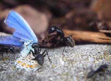 ant-ants-butterfly-eat.jpeg