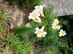 2013-Lilies-web
