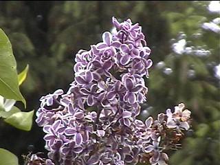 lilacs7