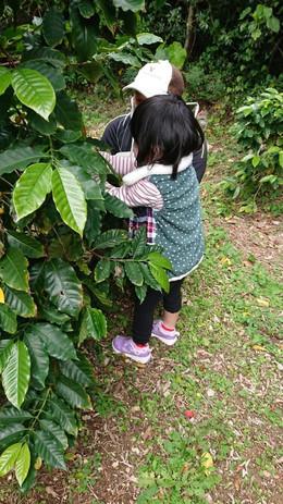 コーヒーの実収穫