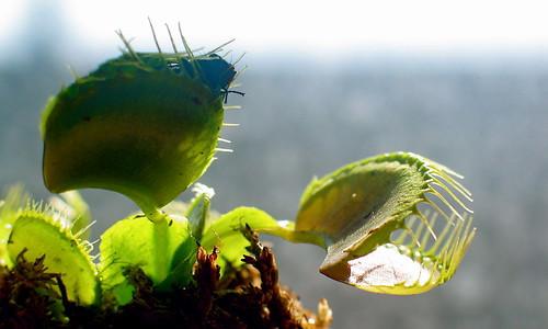Venus Flytrap with Fly