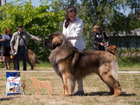19.05.2019 National Club Champion show. The Russia's biggest Leonberger club show!