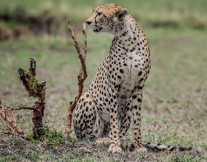 Best of the African Cats