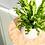Thumbnail: Asplenium Crispy Wave - Nestfarn inkl. Topf
