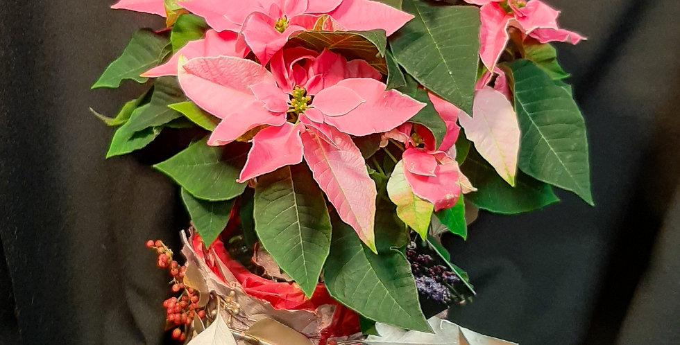 Weihnachtsstern Pink/rosa mit verziertem Topf
