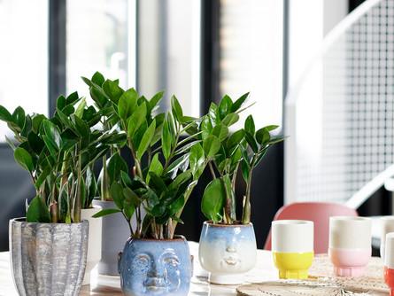 Pflanzenporträt: Zamioculcas