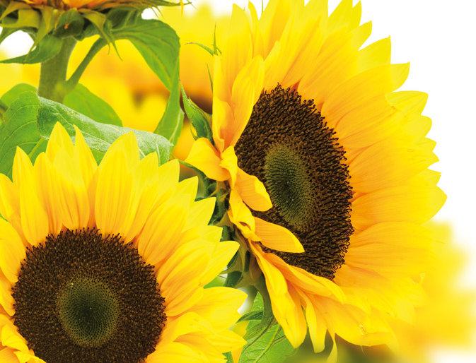 Ohne Worte - Sonnenblumen