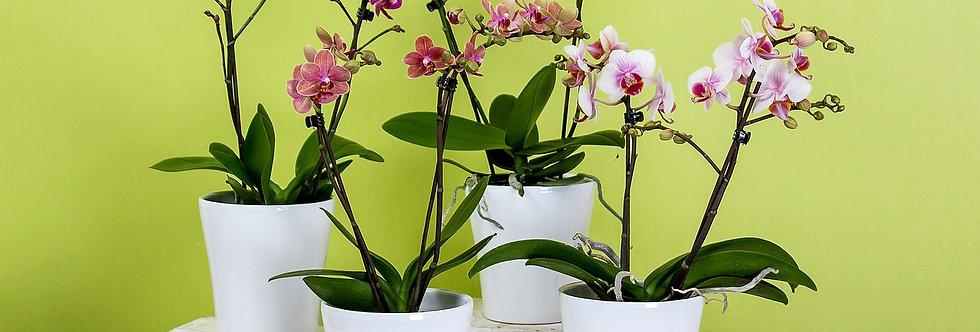 Phalenopsis Orchidee inkl. Übertopf