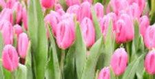 Tulpe rosa- 11cm Topf