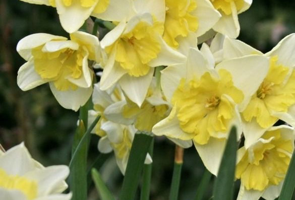 Narcissus Prom Dance - 13cm Topf