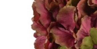 Hortensien Blüte - burgund- grün
