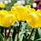 Thumbnail: Tulpe gelb - 11cm Topf