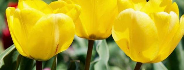 Tulpe gelb - 11cm Topf