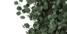 Eucalyptus Populus präpariert 160gr/Bd  grün