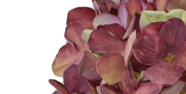 Hortensie, dried look, rosa