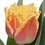 Thumbnail: Tulpenliebe - gefranste Blüte