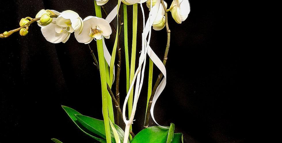 Phalenopsis Orchidee inkl. Übertopf & Deko