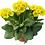 Thumbnail: Primula Elatior - Stengl Primel