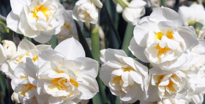 Narcissus Bridal Crown - 12cm Topf