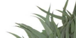 Eucalyptus Lancette mit Früchten 150g/Bd.