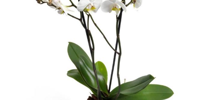 Glamouröse Phalenopsis Orchidee