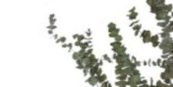 Eucalyptus Silver Dollar präpariert 150g/Bd.