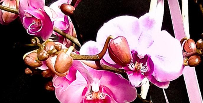 Phalenopsis Orchidee inkl. Glasgefäß & Deko