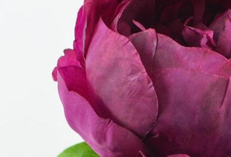 Peonie burgund