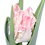 Thumbnail: Tulpenliebe - Papageien Blüte