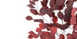 Eucalyptus Populus präpariert 160gr/Bd  rot dunkel