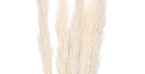 Pampas Gras XL Blüte 6 Stück