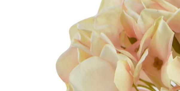 Hortensie, dried look, creme-rosa