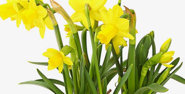 Narcissus  tete a tete- 12cm Topf