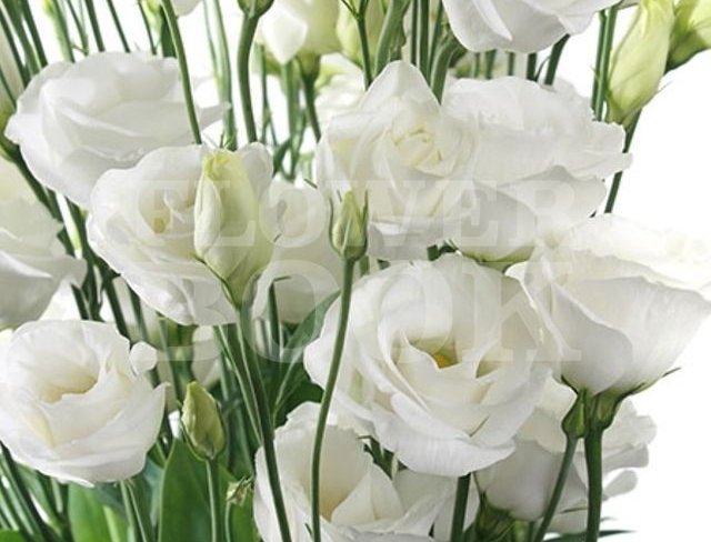 Eustoma weiss