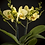 Thumbnail: Phalenopsis Orchidee inkl. Übertopf