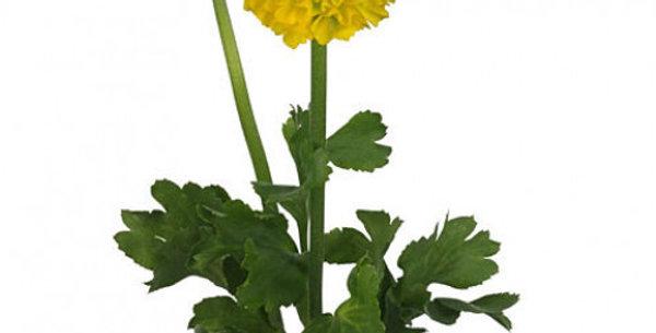 Ranunculus Pon Pon Stella