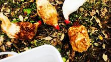 Chicken Tragedy :(