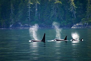 iStock-orcas.jpg