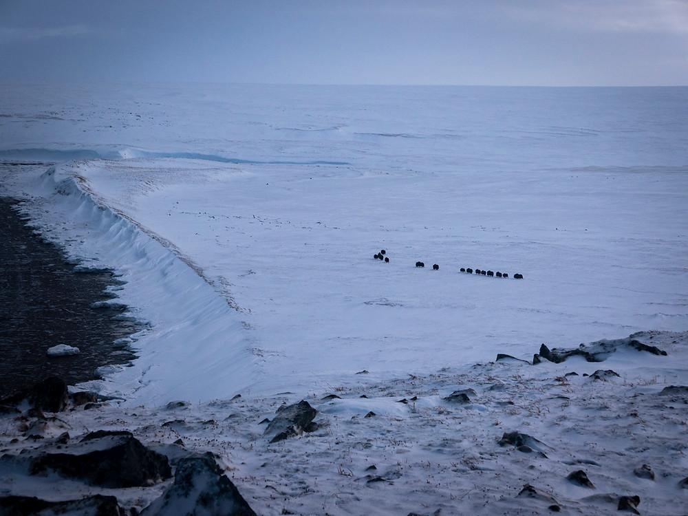 muskox herd on nunivak island