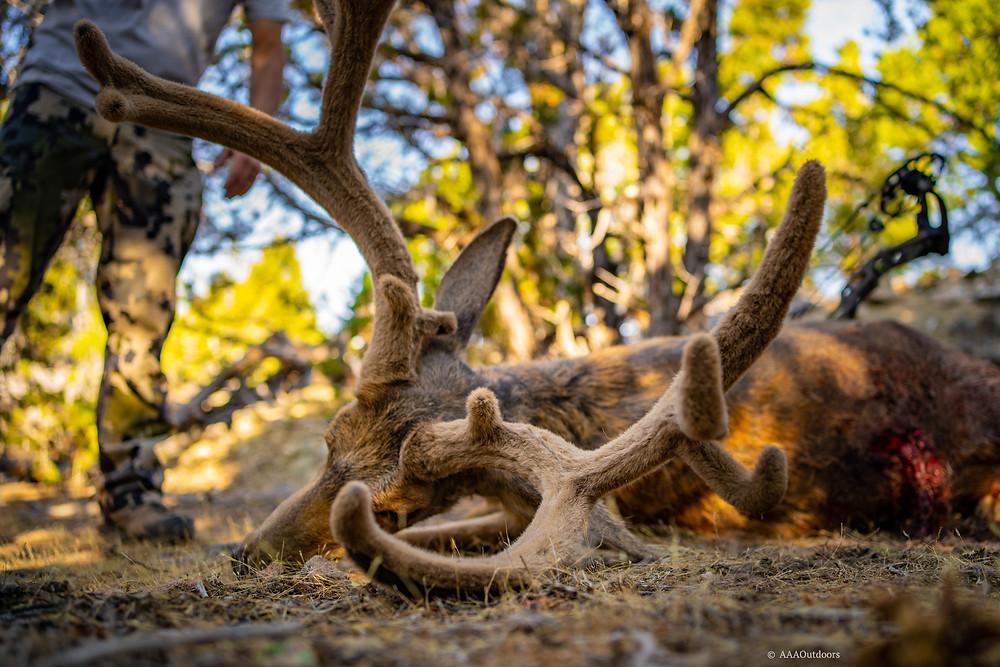 Utah archery velvet mule deer