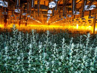 Q&A with a Cannabis Grower