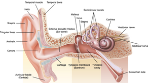 Structures of the ear and hearing