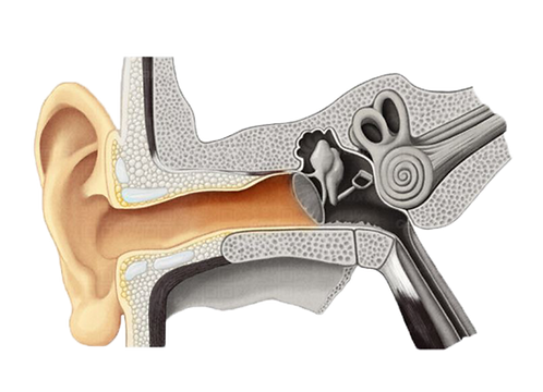 Outer ear, hearing