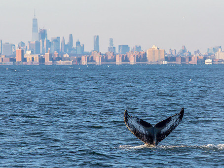 WHALES HAVE RETURNED TO THE NEW YORK HARBOR
