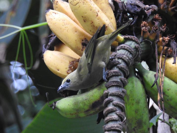 Sanhaçu-do-coqueiro.JPG