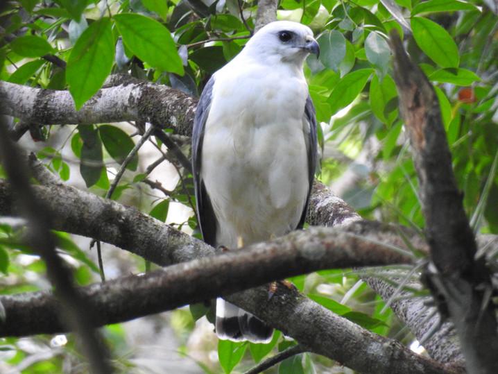 Gavião-pombo-pequeno(1).JPG