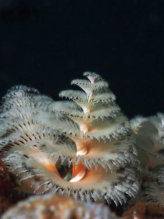 Christmastree worm(イバラカンザシ)