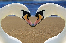 swan-2326666_1280.jpg