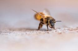 Knobel Honey Bee