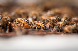 Knobel Honey Bees